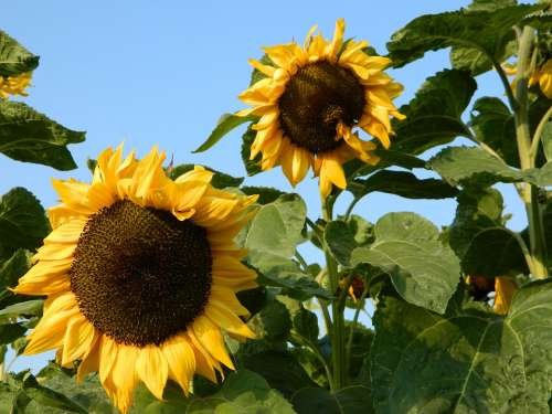 Sunflower Sun Summer Nature Blossom Bloom