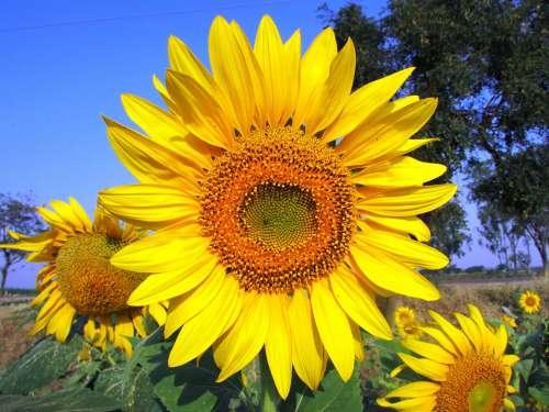 Sun Flower Sunflower Flower Yellow Navalgund India