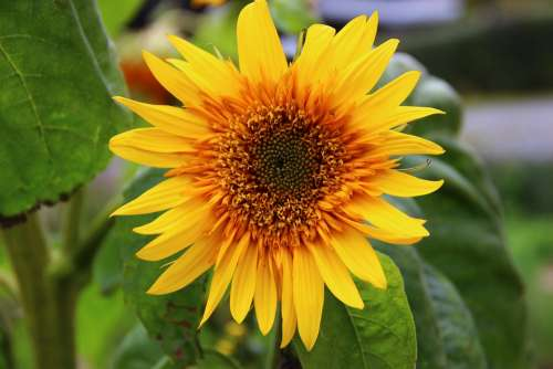 Sunflower Flower Blossom Bloom Yellow