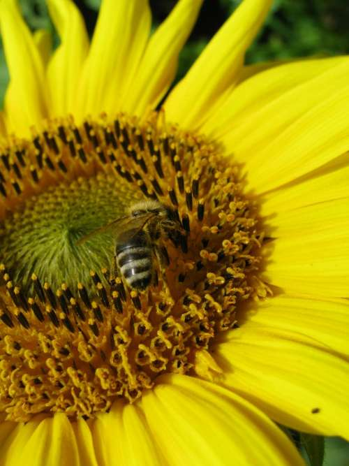 Sunflower Bee Yellow Nectar Insect Busy Bee