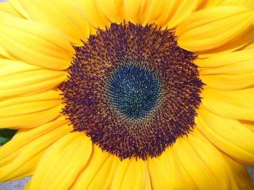 Sunflower Close Up Blossom Bloom Yellow