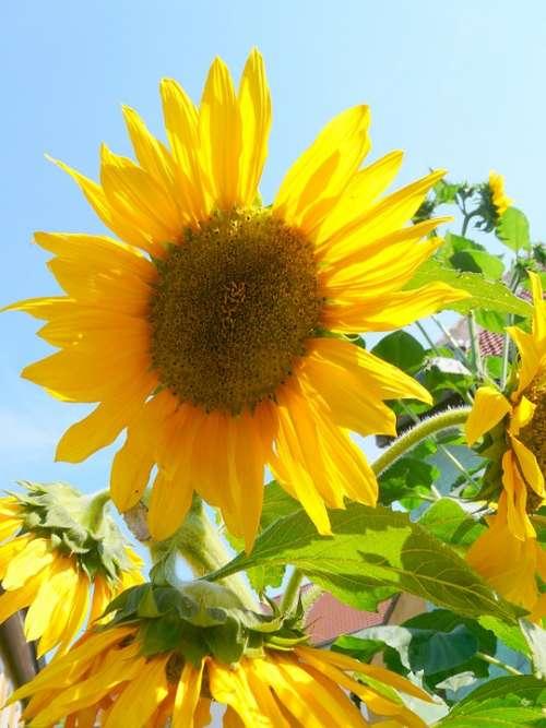 Sunflower Yellow Flower Summer Bloom Plant