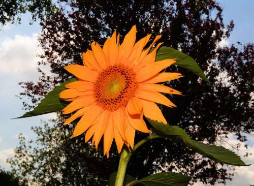 Sunflower Blossom Bloom Summer Colorful Bright
