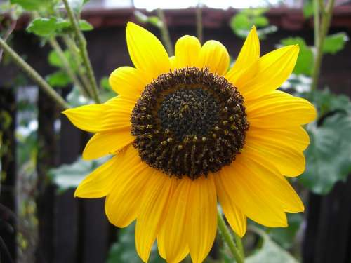 Sunflower Flower Blossom Bloom Yellow Plant