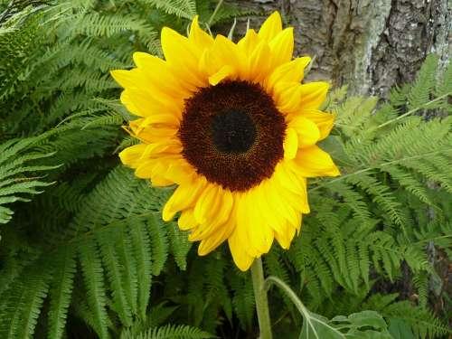 Sunflower Garden Yellow Summer Decorative Nature