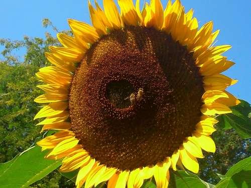 Sunflower Summer Plant Gelp Blossom Bloom