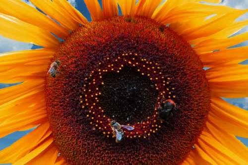 Sunflower Summer Bee Hummel Blossom Bloom Pollen