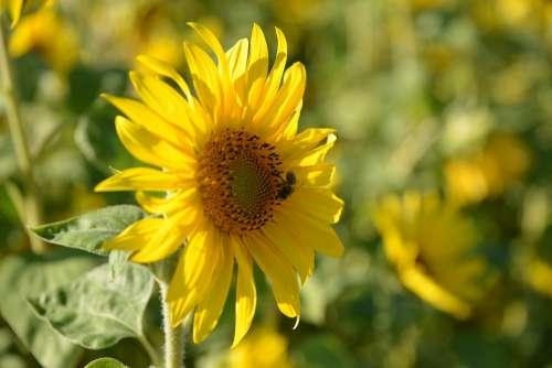 Sunflower Nature Summer Flowers Blossom Bloom