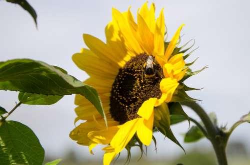 Sunflower Nature Flower Blossom Bloom Plant