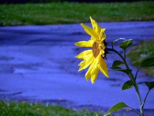 Sunflower Blossom Bloom Yellow Flower Petals