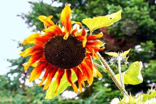 Sunflower Bloom Flower Autumn Cores Nature Plant