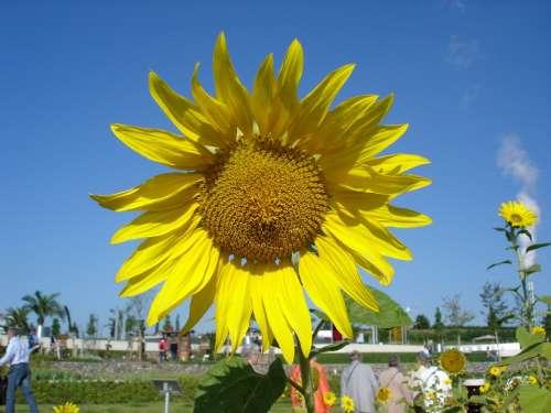 Sunflower Sunflower Seeds Plant Yellow Blossom