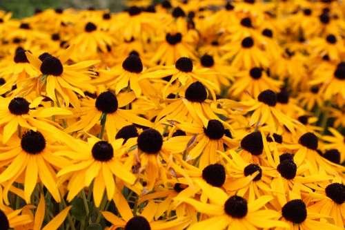 Sun Hats Flowers Summer Yellow Plant Nature Bloom