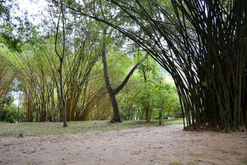 Sun Light Bamboo Bamboo Trees Trees Nature Garden