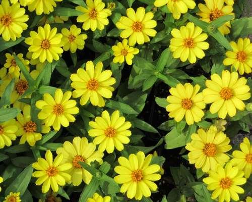 Sundancer Daisies Flower Sundancer Daisy Yellow
