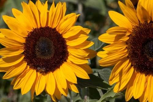 Sunflower Helianthus Annuus Composites Flower