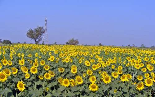 Sunflower Flower Sunflowers Sunflower Field Flora