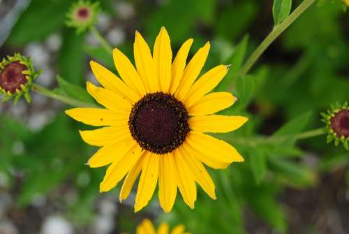 Sunflower Sunflowers Yellow Summer Plants Flora