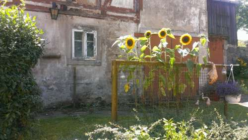 Sunflower Flowers Yellow Plant Old House