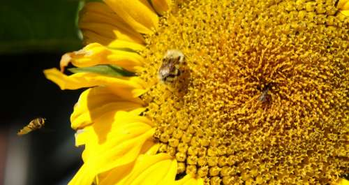 Sunflower Bees Insects Summer Seeds Blooming
