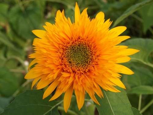 Sunflower Yellow Summer Flowers Yellow Flowers