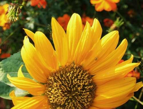 Sunflower Flower Face Large Yellow Petals Light
