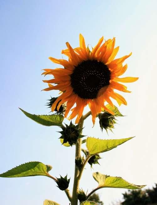 Sunflower Flower Yellow Bright Large Round Seeds