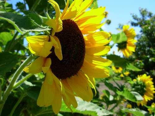 Sunflower Yellow Blossom Autumn Sunflowers Flower