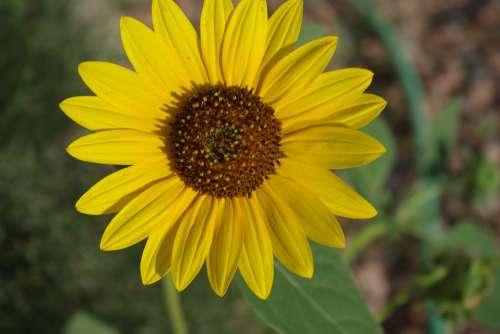 Sunflower Yellow Flower Summer