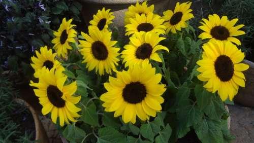 Sunflower Sunflowers Sunflower Vase Garden