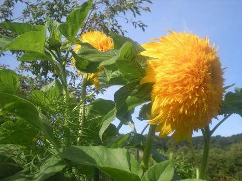Sunflower Flowers Flower Nature Yellow Spring