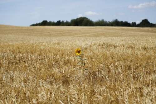 Sunflower Flower Barley Field Summer Beautiful