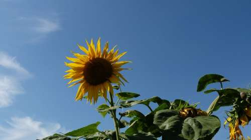 Sunflower Plant Flower Yellow Nature Sky Blue