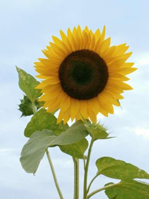 Sunflower Summer Flowers Yellow Flowers