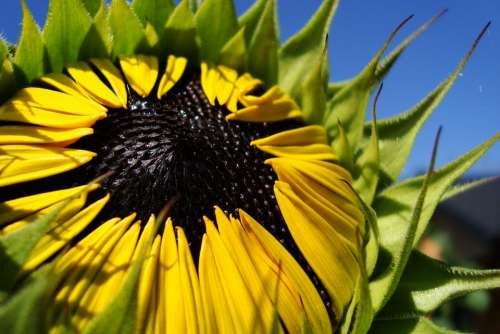 Sunflower Flower Summer Plant Bloom Nature Garden