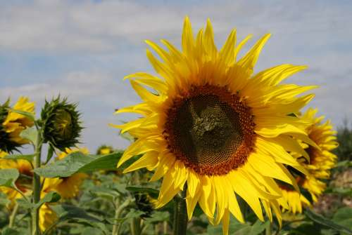 Sunflower Flowers Seeds Agriculture Summer Yellow