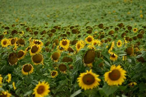 Sunflower Field Flowers
