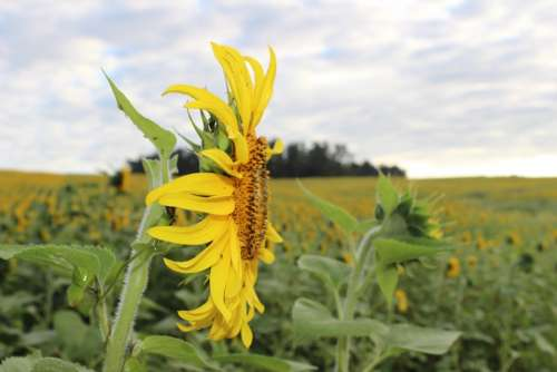 Sunflower Blooming Flower Yellow Field Beautiful
