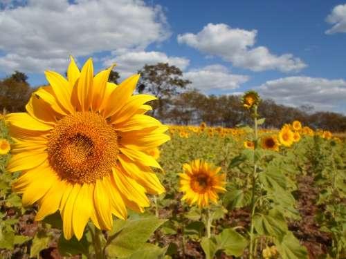 Sunflower Field Flower Yellow