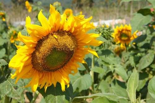 Sunflower Plants Flower Yellow Summer