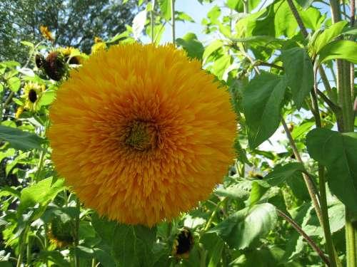 Sunflower Teddybear Yellow Summer Green Leaf