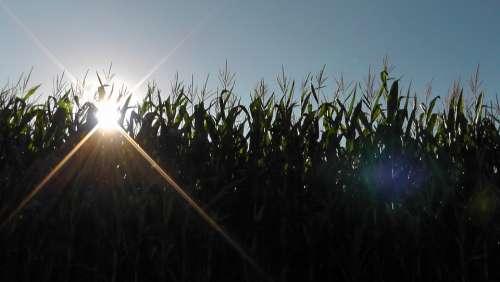 Sunset Landscape Nature Cornfield Corn Field