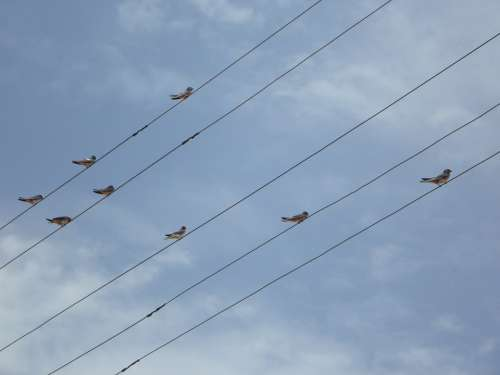 Swallows Power Lines Lines Collect Sit Birds
