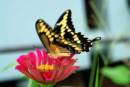 Swallowtail Butterfly Zinnia Flower Nature Insect