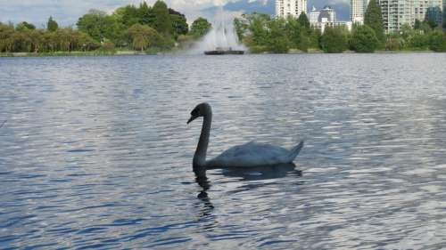 Swan Lake Vancouver Stanley Park Nature Canada