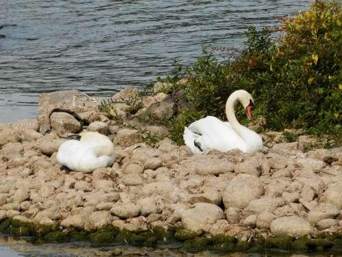 Swan Swans Animals Lake Sleeping Sleep
