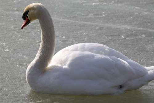 Swan Swans Bird Lake Animals Birds Feather