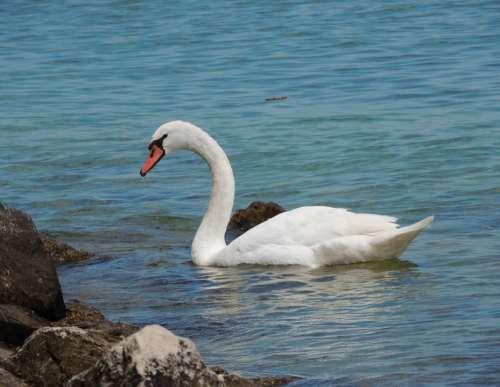 Swan Water Bird Lake Sea Surface Beach Rock