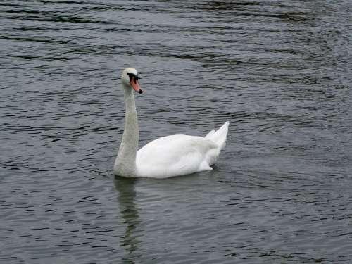 Swan Water Bird Bird