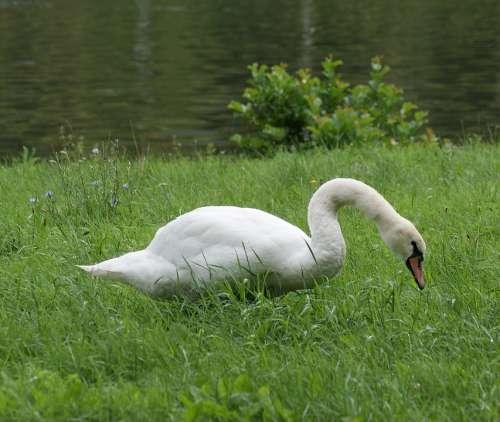 Swan Animal Bird